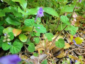 紫のタツナミソウ_s